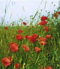 poppies200
