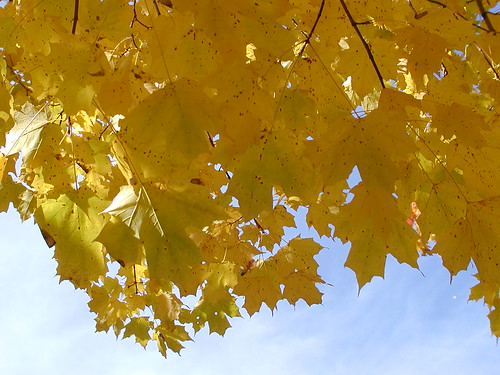 Yellow Maple Leaves in Leelanau County