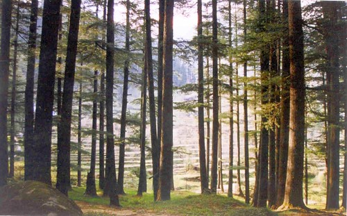 Trees in Manali