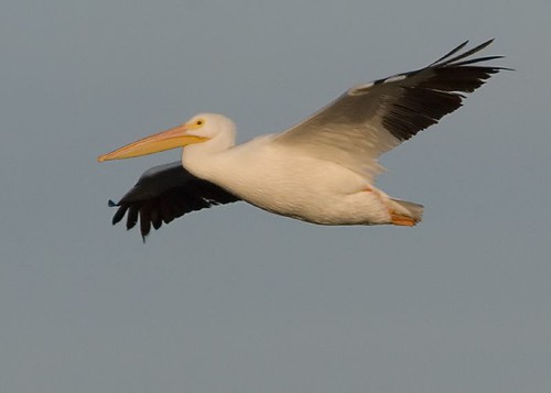 American White Pelican at Don Edwards NWR EEC