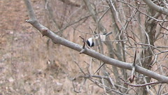 Chickadee_Mass_Trail_Dec_2006