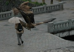 Birds of prey in Kyoto 2
