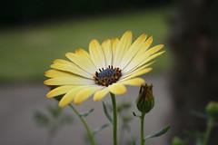 Yellow flower - Kew