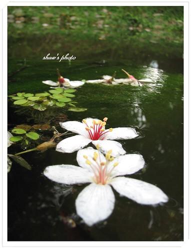 豐鄉國小油桐花