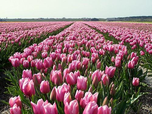 tulipanes en Holanda