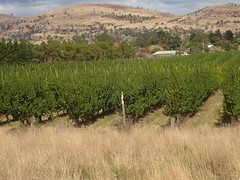 Apricot Orchards