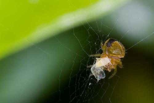 Klein spinnetje met slachtoffer