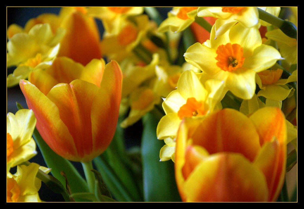 Tulips and Cornish daffodils