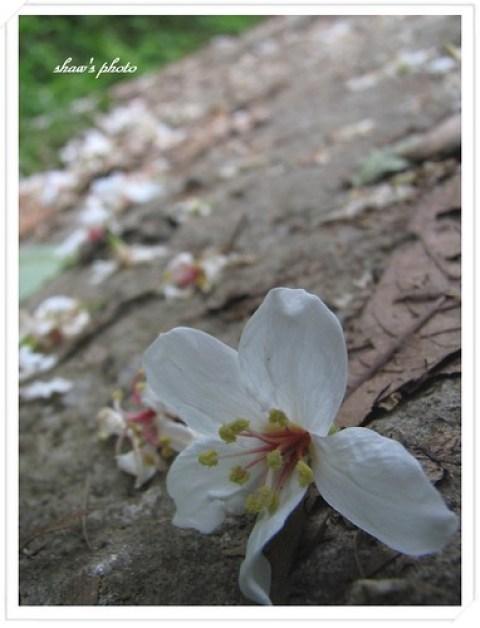騎龍古道油桐花