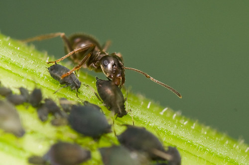 Mier en bladluizen