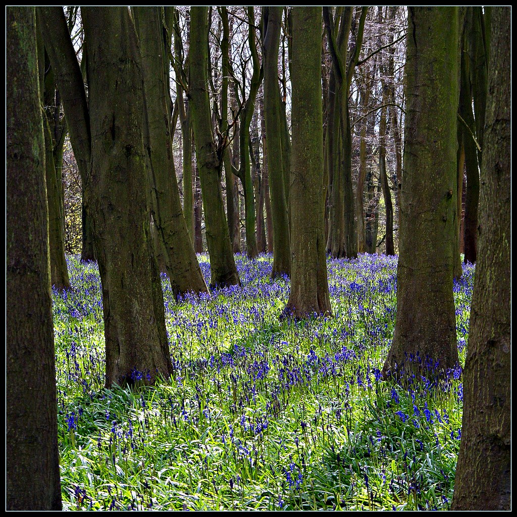 Badbury Hill bluebells