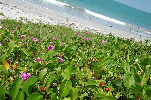 Carmen - 05 - Sea Shore Flowers