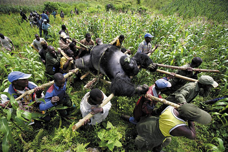 Villagers carry a silverback moutain gorilla slaughtered by the charcoal cartel.
