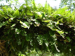 Resurrection Ferns Close-Up on Oak in Greensboro Cemetery, Greensboro AL