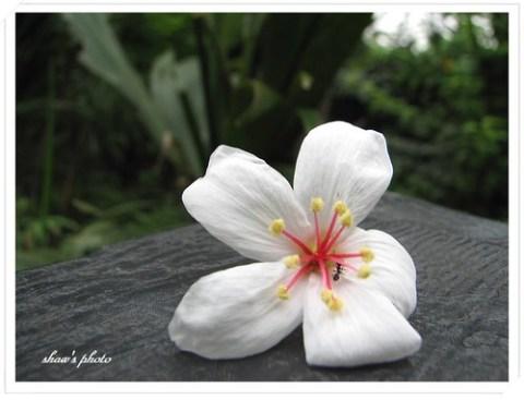 大山背油桐花