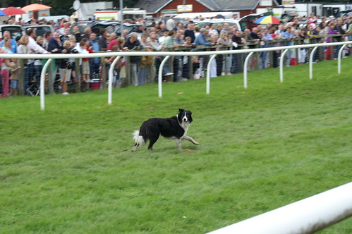 Dog on the racecourse II