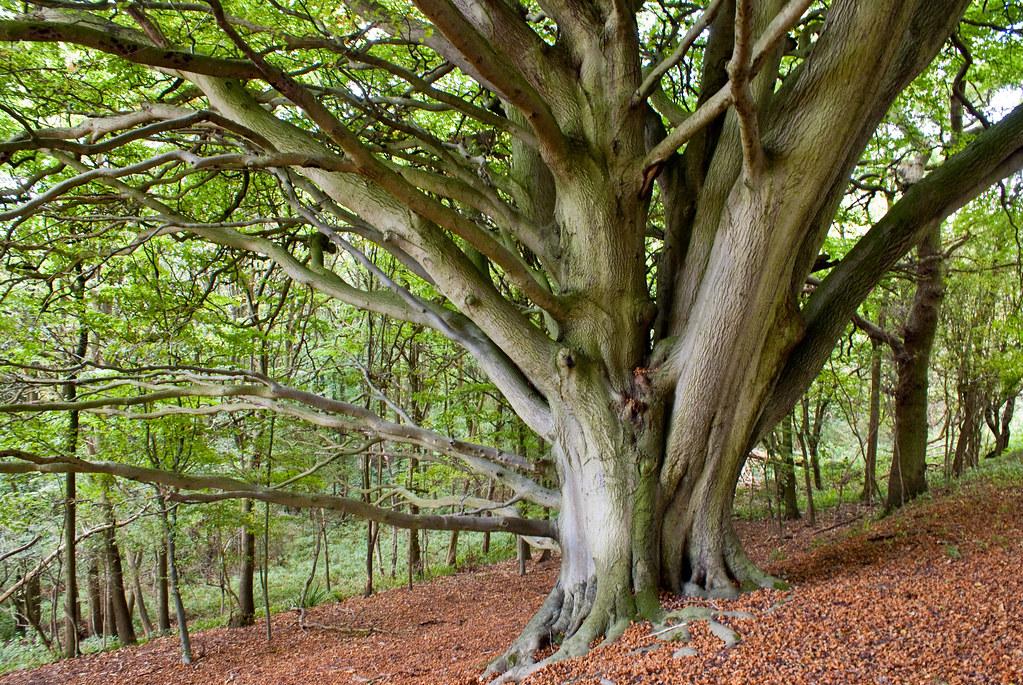 Whytham tree