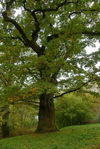 Glitiškių ąžuolas