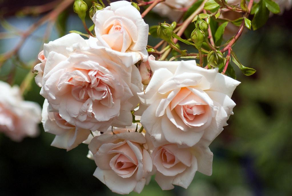 Rosa Sweet Juliet (Ausleap)