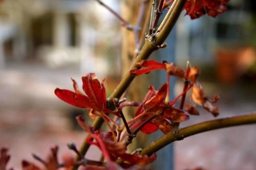 Japanese Maple Tree #2