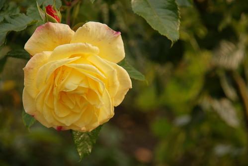 Paskutinis rožės žiedas