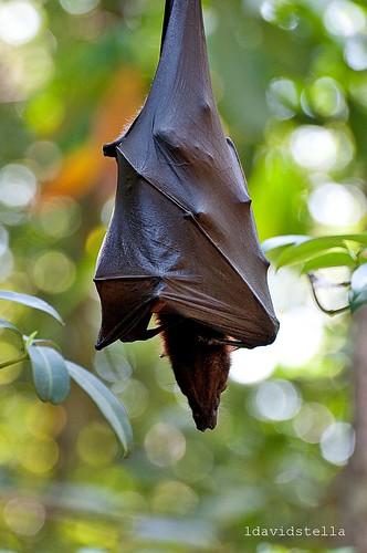 Pteropus {flying fox}