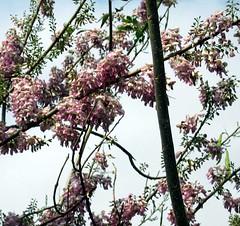 Bunga Gamal