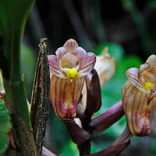 The Java Acanthephippium {Acanthephippium javanicum}