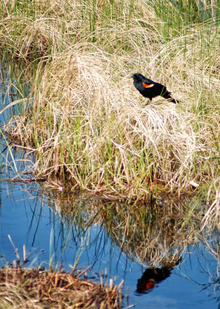 Red Winged Blackbird Reflection