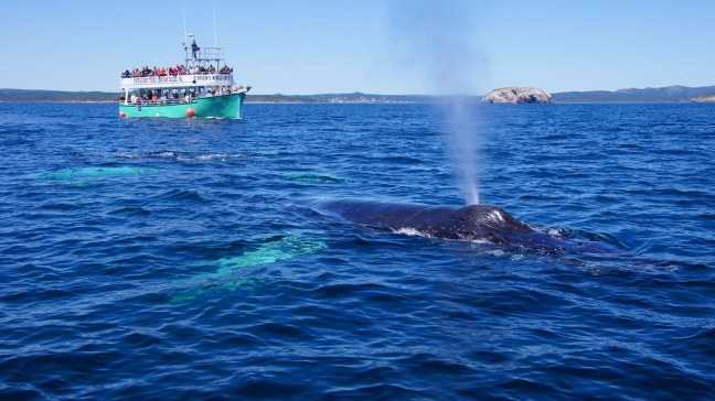 Humpback whale blowing