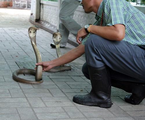 Cobra de Siam maitrise
