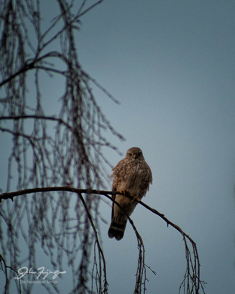 Kestrel Watch