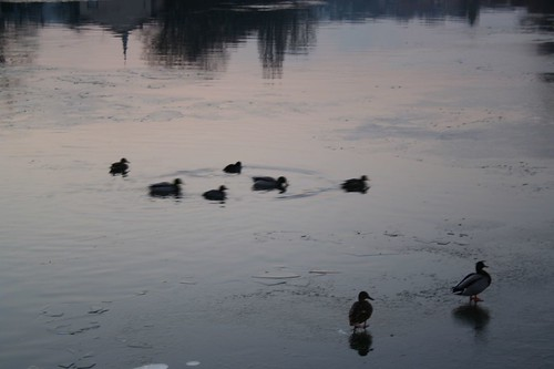 Enten im Neckar