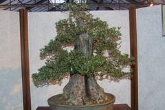 Olivenbaum mit 150 Jahre