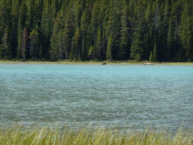 Moose in Waterfowl Lakes