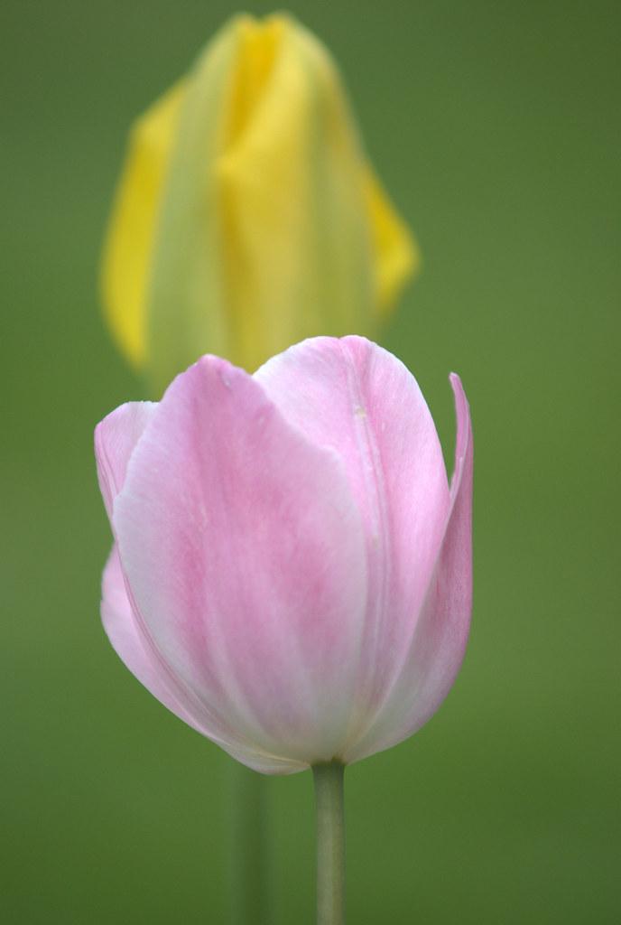 Chenonceau tulips