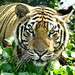Sumatran Tiger ; bathing