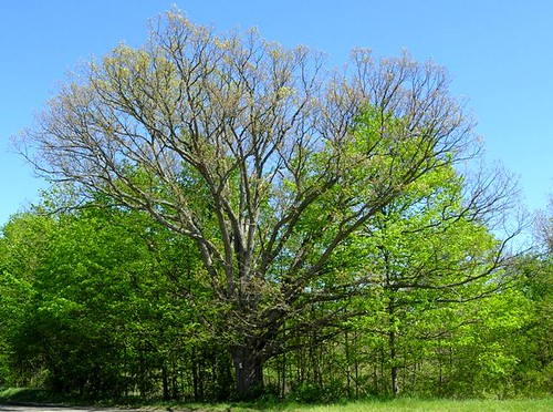 Michigan Oak Tree