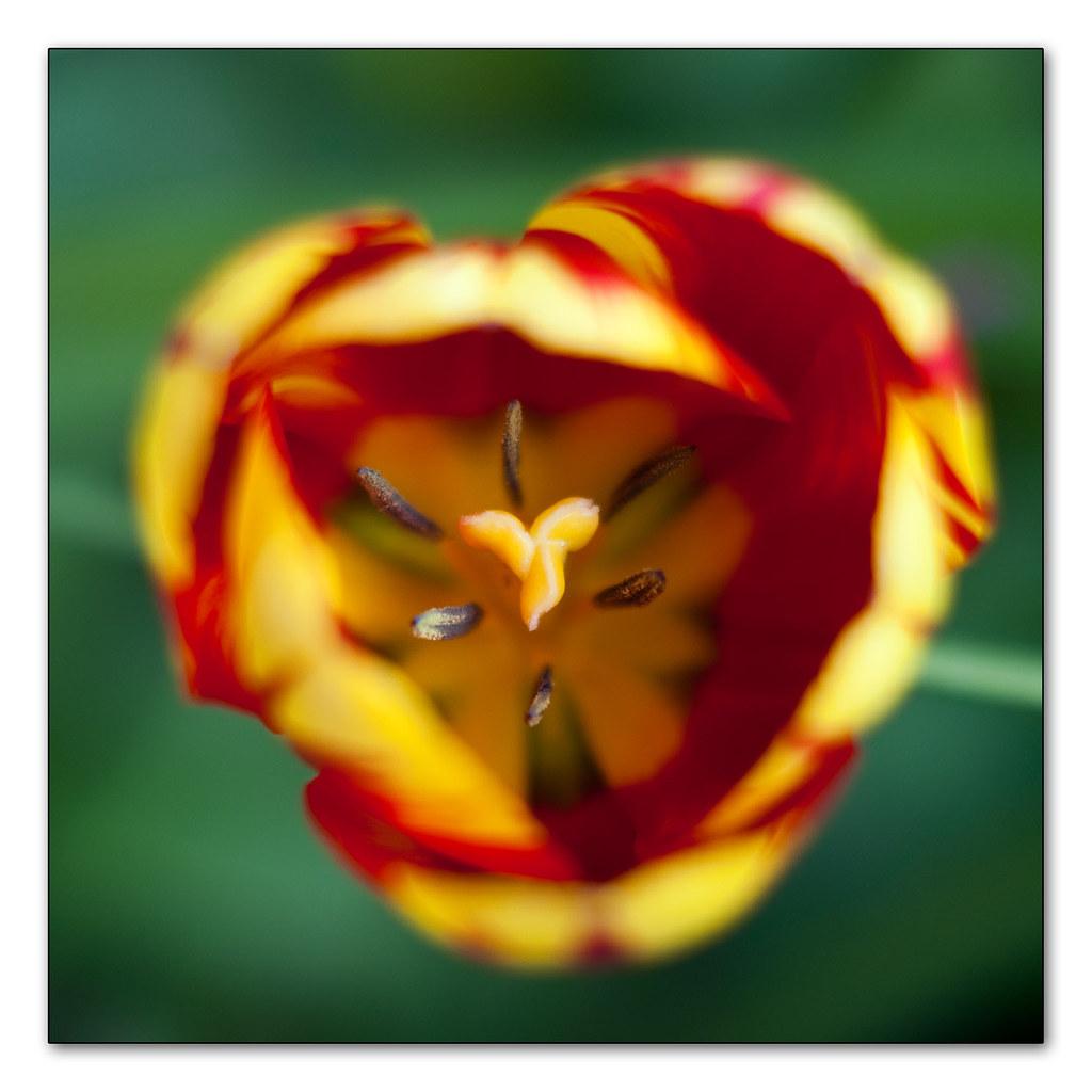 Tulip head | stamens | stigma