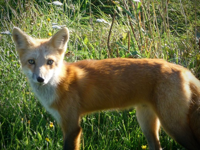 Regular sighting of red foxes on PEI