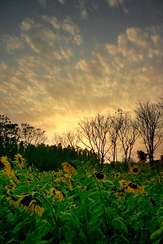 Sunflowers' Sorrow at Sunset