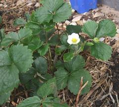 strawberryflower2