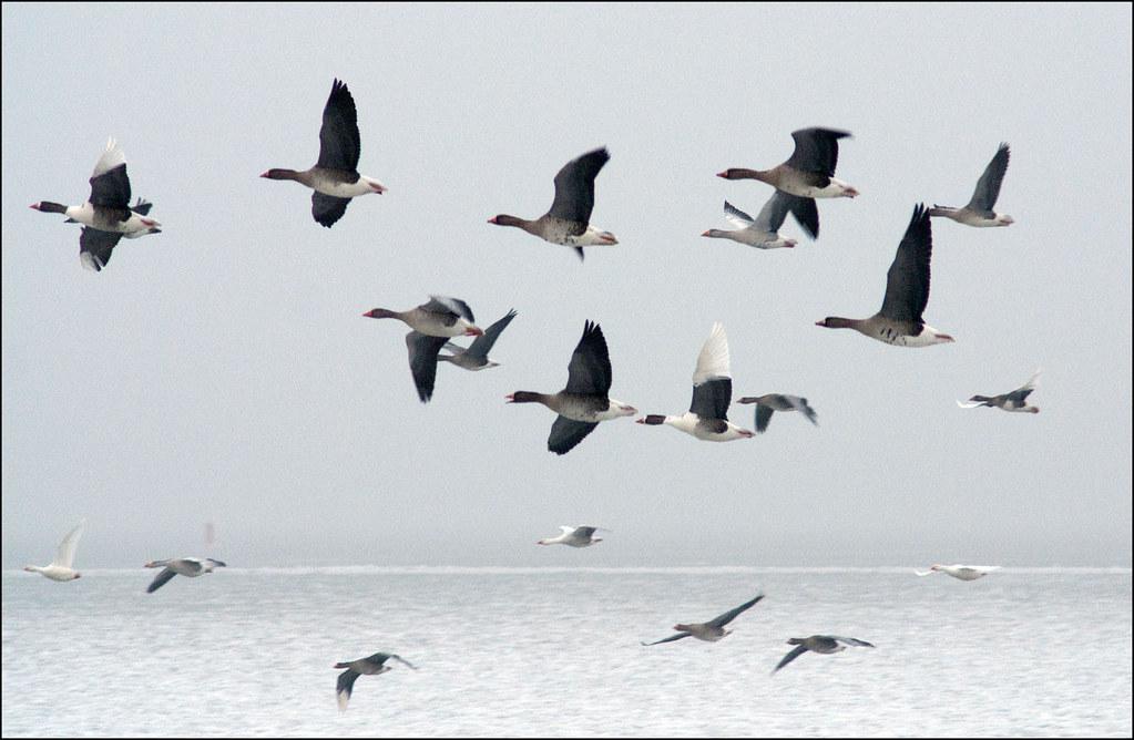 Geese over Schardam