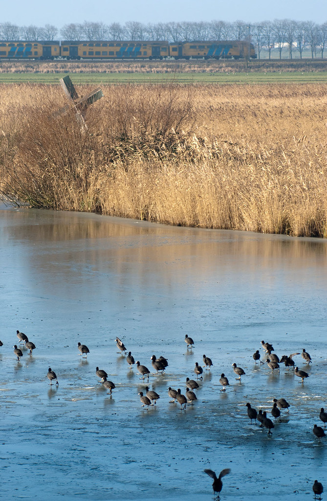 Wildfowl on ice