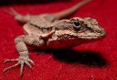 lizard-01