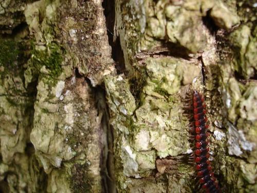 A Pennsylvania centipede.