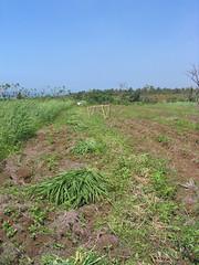 Pemanenan di musim hujan (usia sekitar 40 harian)