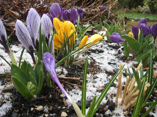 Crocus in the snow