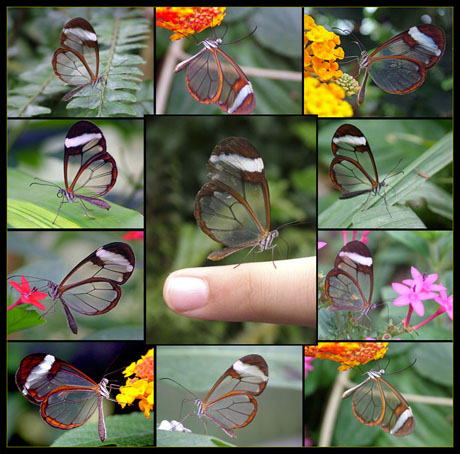 Transparent butterfly 03