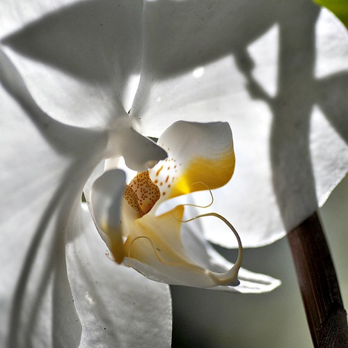 phalaenopsis amabilis {the lovely phalaenopsis or the moon orchid} II